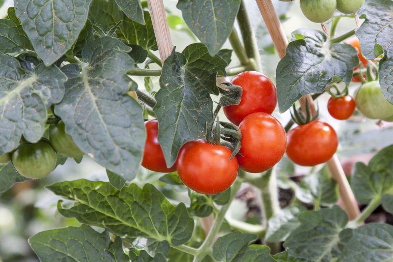 Hochbeet Tomate Gärtnern